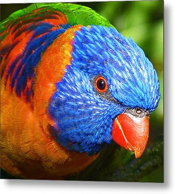 Red Collared Lorikeet Metal Print