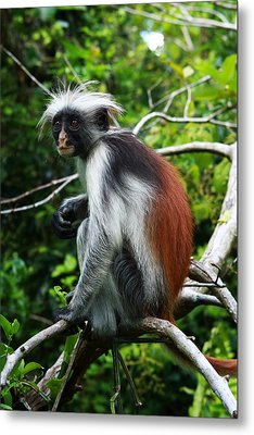 Red Colobus Monkey Metal Print by Aidan Moran
