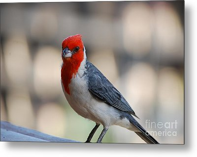Red Crested Cardinal Metal Print by DejaVu Designs