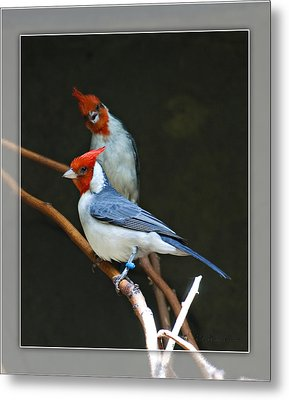 Red-crested Cardinal Metal Print by Walter Herrit