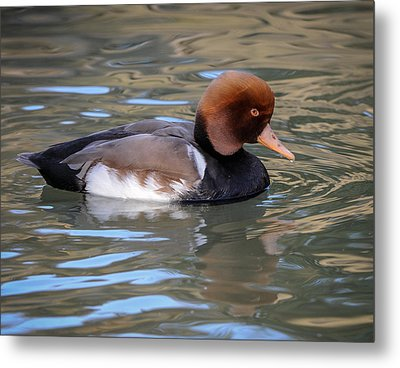 Red Crested Pochard Metal Print