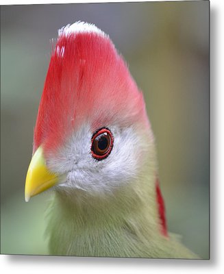 Red Crested Turaco Metal Print by Richard Bryce and Family