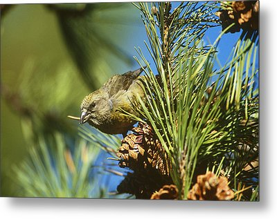 Red Crossbill Eating Cone Seeds Metal Print by Paul J. Fusco