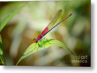 Red Damselfly Metal Print by Peggy Franz