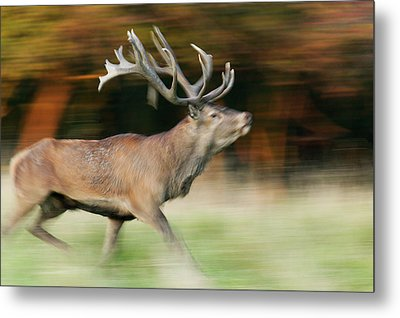 Red Deer Cervus Elaphus Stag Running Metal Print by Cyril Ruoso