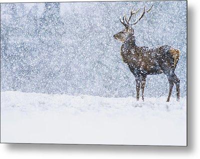 Red Deer Stag In Snowfall Derbyshire Uk Metal Print