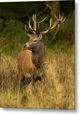 Red Deer Stag Metal Print by Paul Scoullar