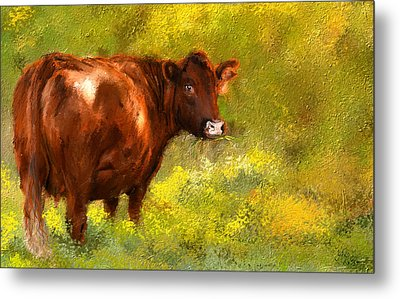 Red Devon Cattle On Green Pasture Metal Print