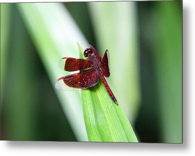 Metal Print featuring the photograph Red Dragon by Shoal Hollingsworth