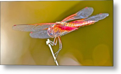 Red Dragonfly Metal Print by Cyril Maza