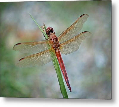 Metal Print featuring the photograph Red Dragonfly by Linda Brown