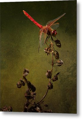 Red Dragonfly On A Dead Plant Metal Print