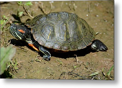 Red Ear Slider Metal Print by Todd Hostetter