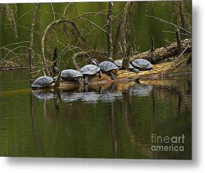 Red-eared Slider Turtles Metal Print
