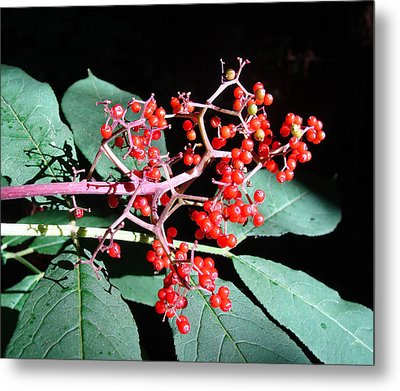 Metal Print featuring the photograph Red Elderberry by Cheryl Hoyle