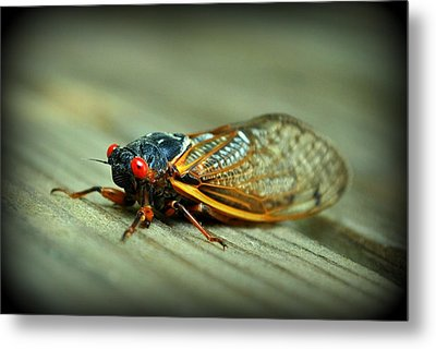 Metal Print featuring the photograph Red Eye Cicada by Kelly Nowak