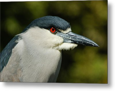 Metal Print featuring the photograph Red Eye - Black-crowned Night Heron Portrait by Georgia Mizuleva