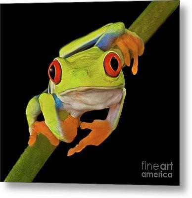 Red Eye Tree Frog Metal Print by Susan Candelario