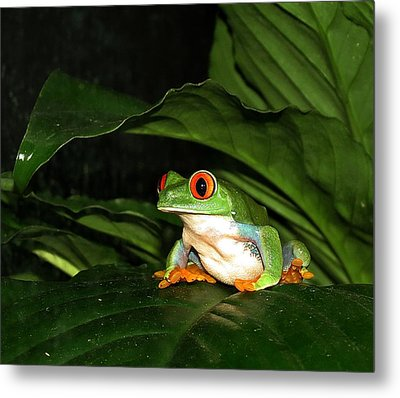 Red Eyed Green Tree Frog Metal Print