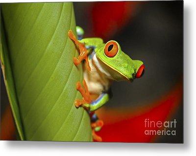Red Eyed Leaf Frog Metal Print by Bob Hislop