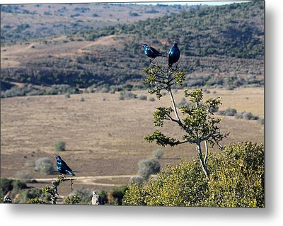 Red Eyed Starlings And The Plains Metal Print by Chris Whittle
