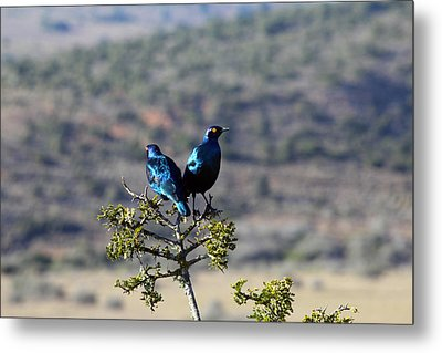 Red Eyed Starlings Metal Print by Chris Whittle