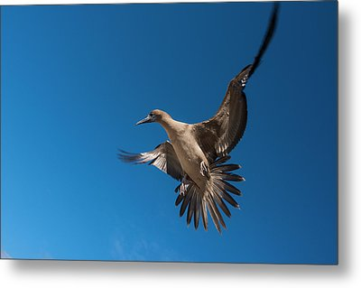 Red-footed Booby (sula Sula Websteri Metal Print by Pete Oxford