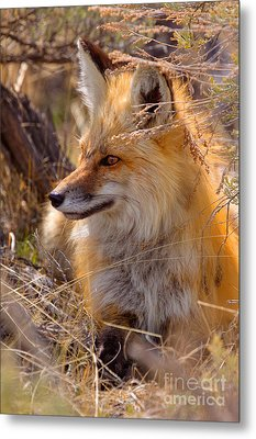 Metal Print featuring the photograph Red Fox At Rest by Aaron Whittemore