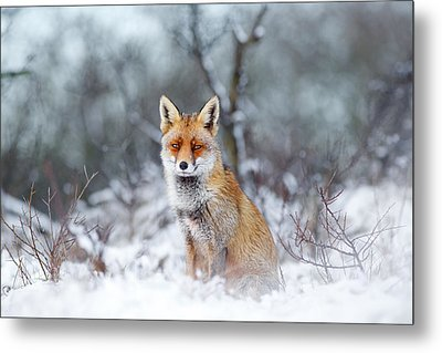 Red Fox Blue World Metal Print