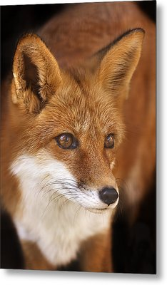 Red Fox  Metal Print by Brian Cross