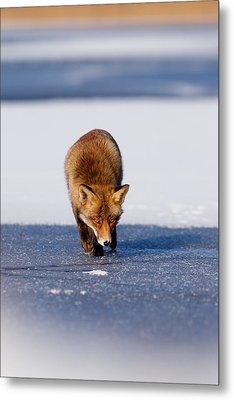 Red Fox Crossing A Frozen Lake Metal Print