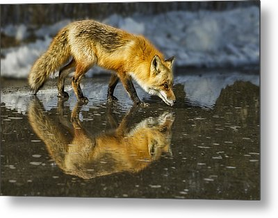 Red Fox Has A Drink Metal Print