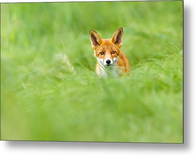 Red Fox In A Sea Of Green Metal Print by Roeselien Raimond