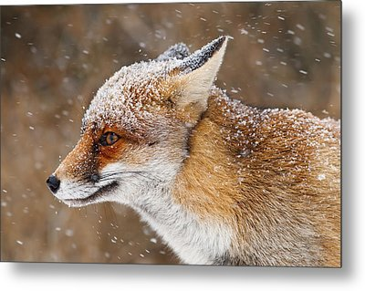 Red Fox In A Snow Storm Metal Print