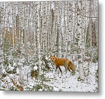 Red Fox In Birches Metal Print by Jack Zievis