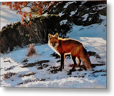 Metal Print featuring the photograph Red Fox In Winter by Diane Alexander