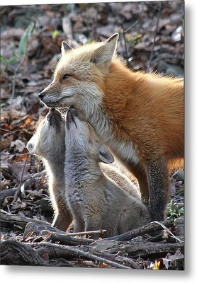 Red Fox Kits And Parent Metal Print