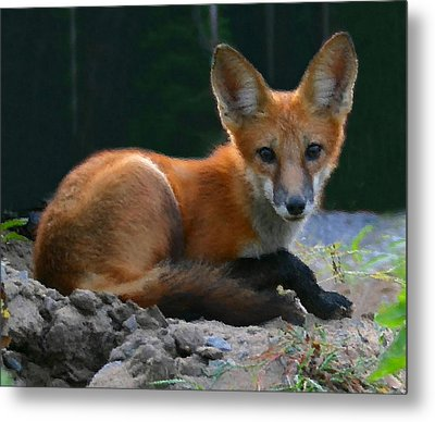Red Fox Metal Print by Kristin Elmquist