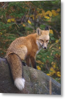 Metal Print featuring the photograph Red Fox by James Peterson