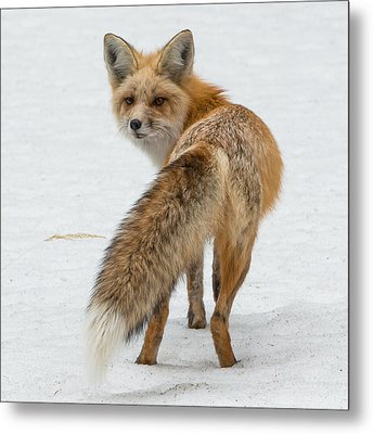 Metal Print featuring the photograph Red Fox Of Silver Gate by Yeates Photography
