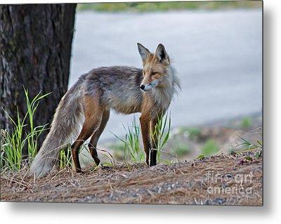 Red Fox Metal Print by Robert Bales