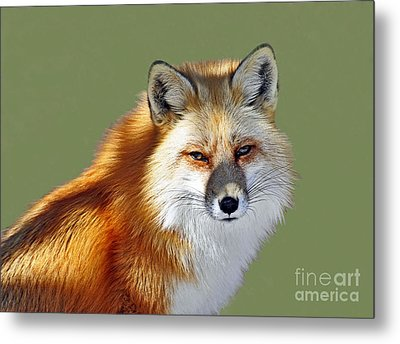 Red Fox Metal Print by Rodney Campbell
