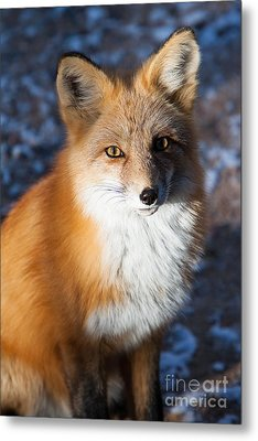 Red Fox Standing Metal Print by John Wadleigh