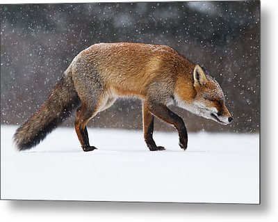 Red Fox Trotting Through A Snowshower Metal Print by Roeselien Raimond