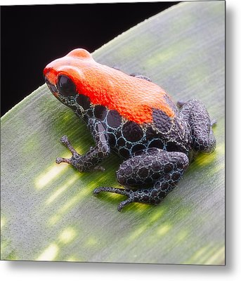 red frog Ranitomeya reticulata Metal Print by Dirk Ercken