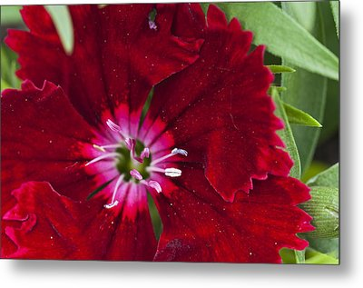 Red Geranium 1 Metal Print by Steve Purnell