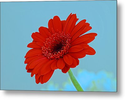 Red Gerbera Daisy Metal Print by Scott Carruthers