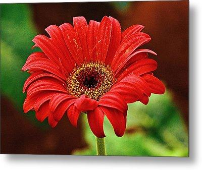 Red Gerbera Flower Metal Print by Johnson Moya