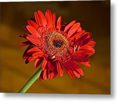 Red Gerbera Metal Print by Venetia Featherstone-Witty