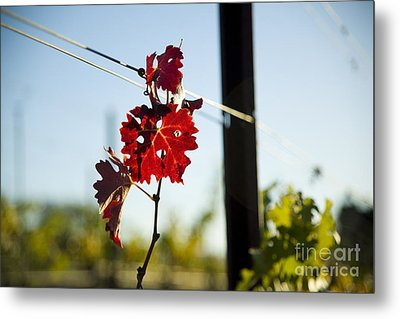 Red Grape Leaves Metal Print by Charmian Vistaunet